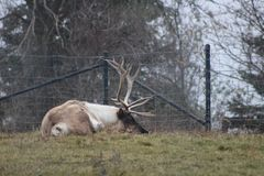 Large caribou with impressive antlers at the zoo. In Toronto Stock Images