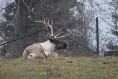Large caribou with impressive antlers at the zoo. In Toronto Stock Photos