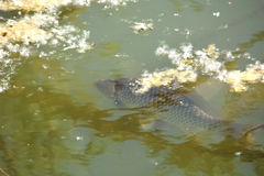A large carp swimming Stock Images