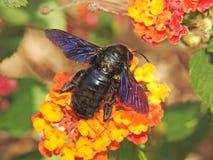 Carpenter Bee. Large Carpenter Bee on a Lantana bush stock image