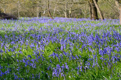Large carpet of bluebells Royalty Free Stock Images
