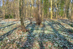 Large carpet of snow drops royalty free stock photo