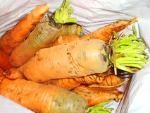 Large carrots Stock Images
