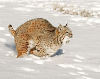Large cat or bobcat in snow Royalty Free Stock Images