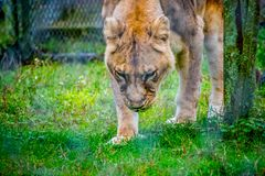 An agile female lioness in Jacksonville, Florida stock photography