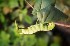 Large caterpillar  hawk Stock Image