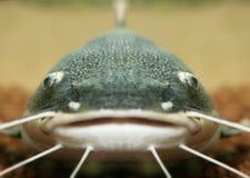 Large Catfish. Close up of large Catfish royalty free stock image