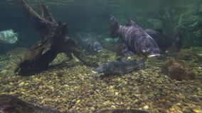 Large catfish on the stony bottom and floating big fishes