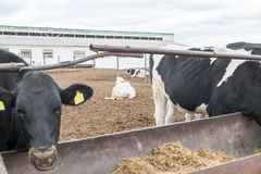 Arge cattle farm. The state farm supplies milk and meat to the entire Volgograd region. A large cattle farm. The state farm supplies milk and meat to the entire Stock Photo
