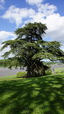 Large cedar tree of Chateau de Chaumont sur Loire Royalty Free Stock Photo