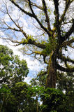 Large Ceibo tree in Rainforest. Rainforest on the bank of the Napo River, Amazon, Ecuador with large Ceibo tree Stock Images