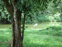 Jabiru royalty free stock image