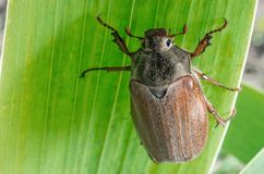 Large chafer is sitting on a leaf. Insect is an agricultural pest Royalty Free Stock Images