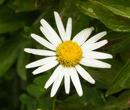 Large chamomile flower, close-up royalty free stock images