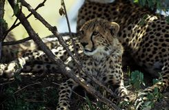 Large cheetah cub. With mother on hill royalty free stock images