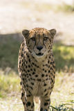 Large Cheetah Stalking Prey. A Cheetah walks through the brush in its` habitat Stock Images