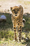 Large Cheetah Stalking Prey. A Cheetah walks through the brush in its` habitat Royalty Free Stock Image