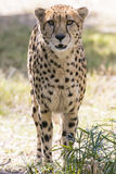 Large Cheetah Stalking Prey. A Cheetah walks through the brush in its` habitat Stock Photos