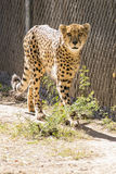 Large Cheetah Stalking Prey. A Cheetah walks through the brush in its` habitat Royalty Free Stock Photography