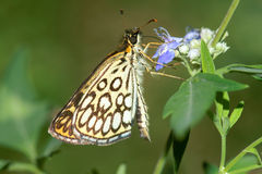 Large chequered skipper Royalty Free Stock Image