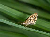 Large chequered skipper butterfly, with eggs. Stock Photo