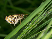 Large chequered skipper butterfly Stock Photography