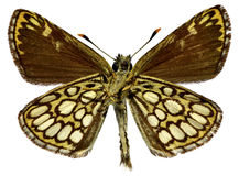 Isolated Large Chequered Skipper butterfly Royalty Free Stock Photography