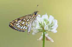 Large Chequered Skipper  (Heteropterus morpheus) Stock Photo