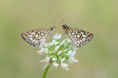 Large Chequered Skipper  (Heteropterus morpheus) Royalty Free Stock Image