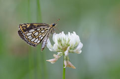 Large chequered skipper on white clover Royalty Free Stock Photography