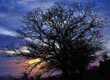 Large chestnut trees at sunrise Royalty Free Stock Photo