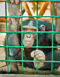 A large chimpanzee Royalty Free Stock Photos