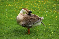 Brown Chinese goose preening on a buttercup meadow. The large Chinese geese preen several times a day to keep themselves healthy Royalty Free Stock Images