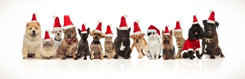 Large christmas team of many cute cats and dogs. Standing and sitting on white background wearing santa costumes stock photography