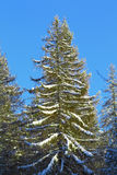 Large christmas tree covered with snow Stock Photo