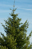 Large christmas tree Royalty Free Stock Photo