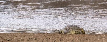 Large chrocodile basking on sun Stock Photography