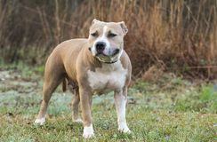 Stout American Staffordshire Pitbull Terrier dog royalty free stock photography