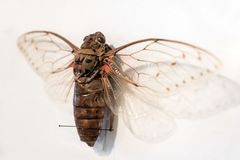 Large cicada. In collection of entomologist Royalty Free Stock Photos