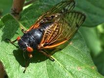 Large cicada rests on a green leaf. Big orange eyed cicada lands on a leaf Stock Photos