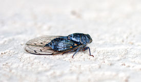 Large cicada on a stone wall Royalty Free Stock Image