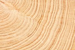 Large circular piece of wood cross section with tree ring texture pattern and cracks background. Detailed organic surface from nat. Ure royalty free stock photo
