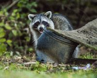 A Wild city Raccoons scrounge for food. Stock Photography