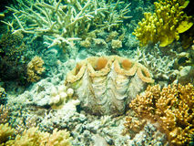 Large clam with corals and sponges Stock Photos