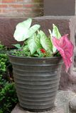 Large clay pot filled with gorgeous flowers and plants on step of home. Pretty pot filled with nature`s bounty in large green,white and pink leaves of plants and royalty free stock photos