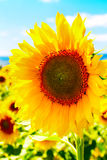 Large close up beautiful sunflower at field landscape and cloudy blue sky Royalty Free Stock Photo