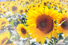 Large close up beautiful sunflower at field landscape and cloudy blue sky Royalty Free Stock Image