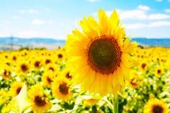 Large close up beautiful sunflower at field Stock Photos