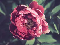 Large, close up of red blooming flower. With green leaves royalty free stock images