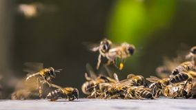 A large cluster of bees gathered in a group. And scattered. Close-up stock video footage